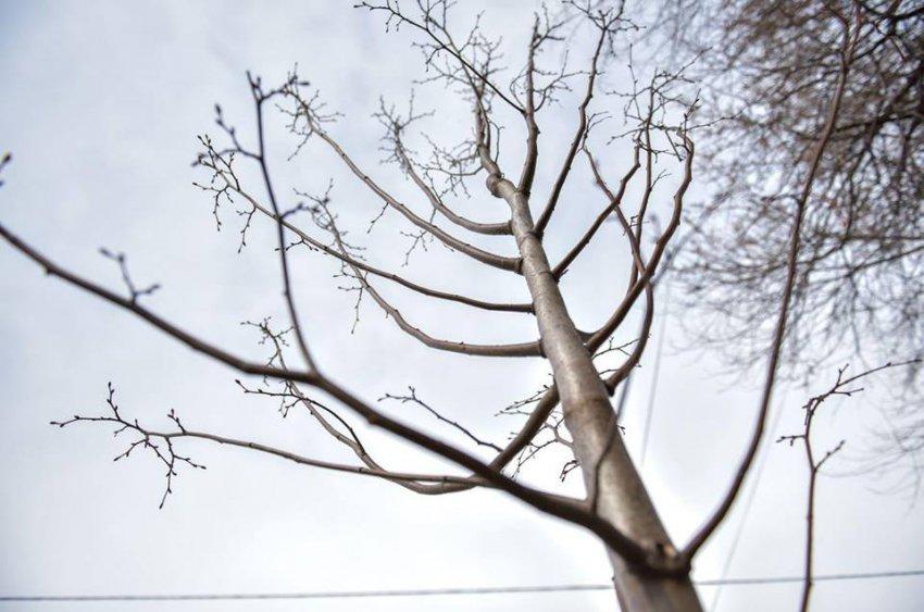 Деревья, которые закупались за 9 млн, умирают. Депутат возмутился состоянием экологии в столице