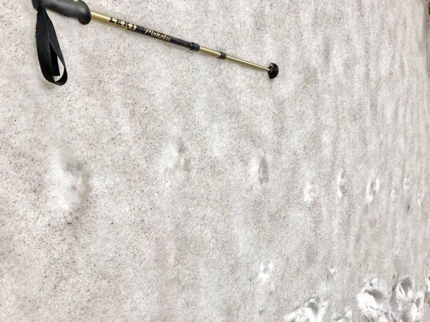 Владимир Тытаар:В горах Кыргыз Ала-Тоо снежный барс в поисках добычи спустился очень низко