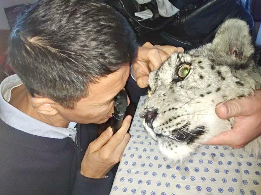 Ветврачи: Раненый снежный барсенок полностью ослеп- зрение вернуть невозможно