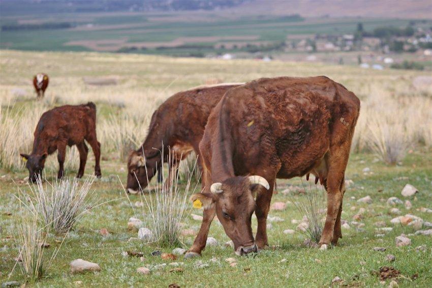 Вода для пастбищ: ФАО помогает обеспечить скот свежими кормами